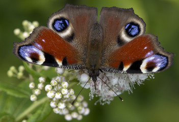 Butterfly Peacock eye (lat. Inachis io)