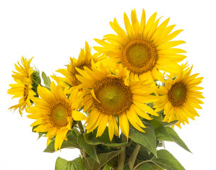 bunch of sunflowers isolated