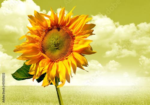 In de dag Bloemen słonecznik