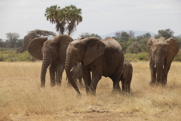 Familiar herd of african elephants in the savannah