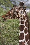 Head of reticulated male giraffe with oxpecker bird poster