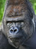 Menacing look of a silverback, gorilla adult male.