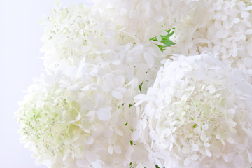White hydrangea flowers blur background. shallow dof