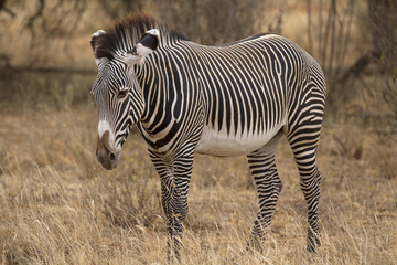 Lone Grevy´s zebra stallion