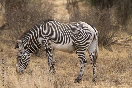 Fototapeta Lone Grevy´s zebra stallion