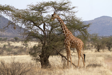 Lone reticulated giraffe browsing from an acacia tree