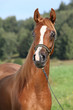 Portrait of nice arabian horse