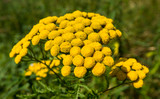Closeup of yellow blooming Tansy