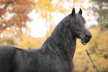 Portrait of beautiful Friesian stallion