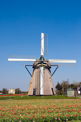 Dutch windmill and tulipfield
