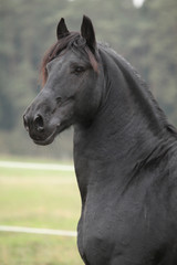 Portrait of beautiful Friesian stallion