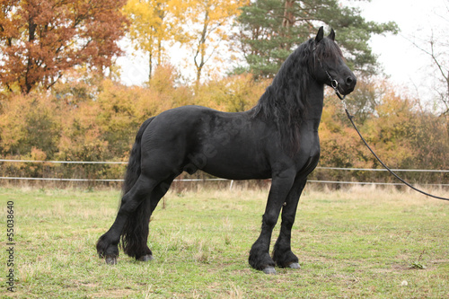 Beautiful friesian stallion in autumn