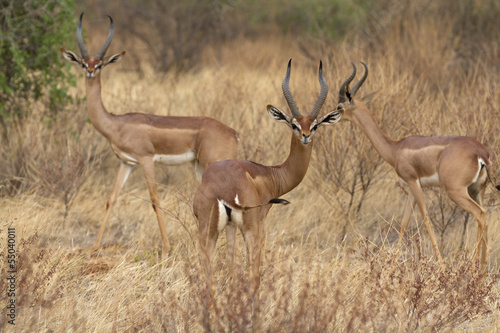 Group of gerenuk antelope rams