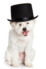 A dog with hat isolated on white background
