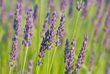 lavender in the sunlight