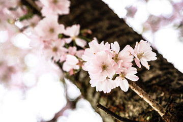 Cherry blossom on a branch