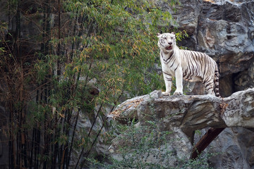 White bengal on the rock