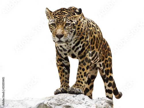 Poster Luipaard leopard on the rock