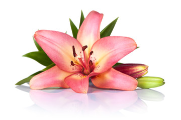 Lily Flower