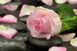 Róża na kamieniu bazaltowym
