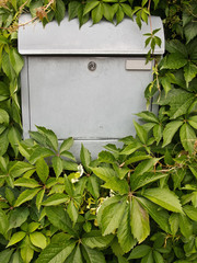 Mailbox hidden behind wine leaves