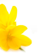 Yellow Crocuses / Spring flowers / Macro