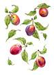 Watercolor ripe plums