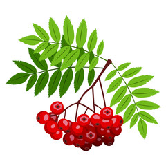 Rowan branch with berries and leaves. Vector illustration.