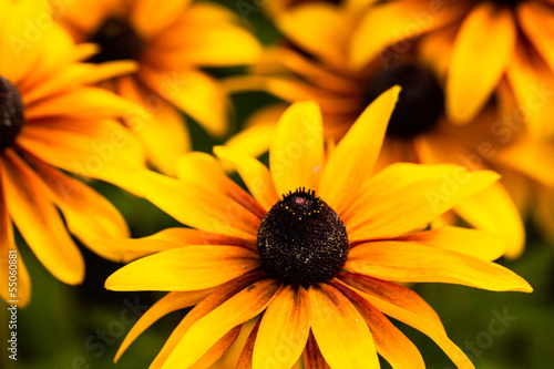 Bright yellow rudbeckia flowers in the garden