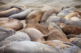 Northern elephant seals, coast of Cailfornia
