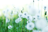 White dandelions - 55062098