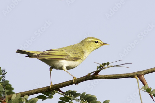 wood warbler in natural habitat / Phylloscopus sibilatrix