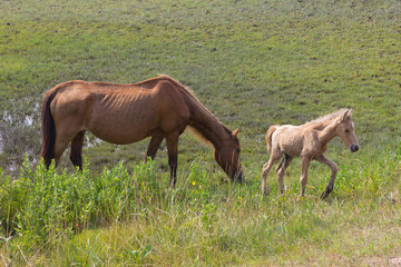 Wild horses grazing on the swamp of the Assateague Island