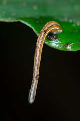 Macro leech on green leaf
