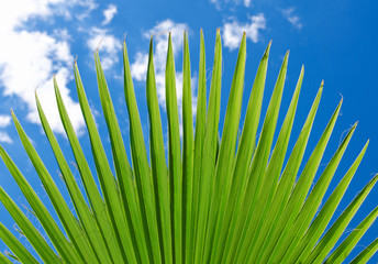 Lush green fan plam frond or leaf