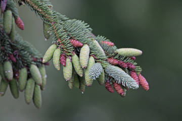 Spruce Pinecones on the Tree