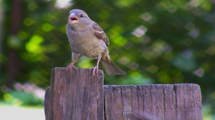 A sparrow with open beak in a summer heat