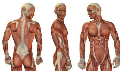 Muskelaufbau Kopf und Oberkörper