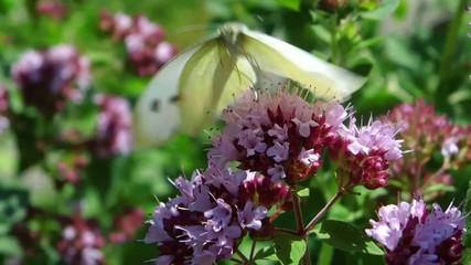 Schmetterling auf Oregano
