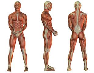 Muskelaufbau stehender Mann