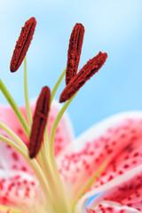 Beautiful Pink Stargazer Lily Flower