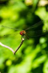 Occhi di libellula rossa in primo piano
