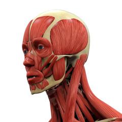 Human Face Anatomy