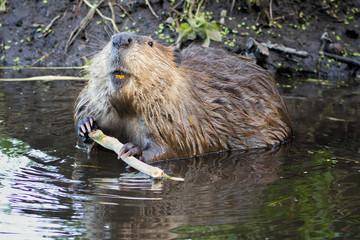 Beaver in the Tetons
