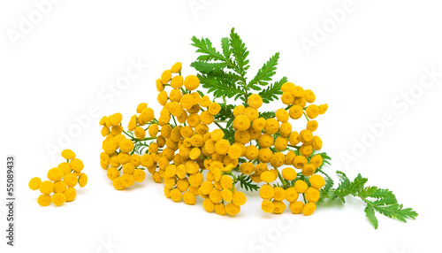tansy flowers and leaves on a white background close-up