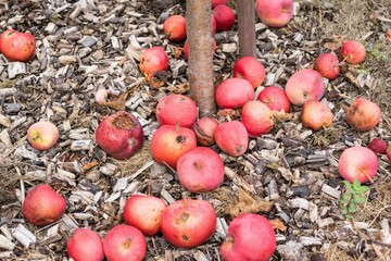 Photo of fallen red apples laying on the ground