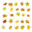 Falling autumn maple leaves, isolated on white background.