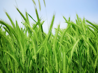 Organic green wheat close up