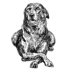 Vector_Thai breed dog13