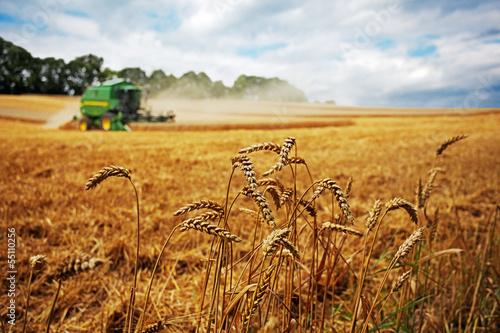 wheat harvesting - 55110256